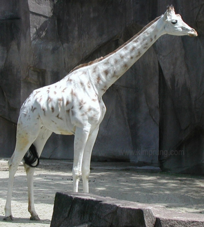 5 Rare White Giraffes Spotted in Different Areas