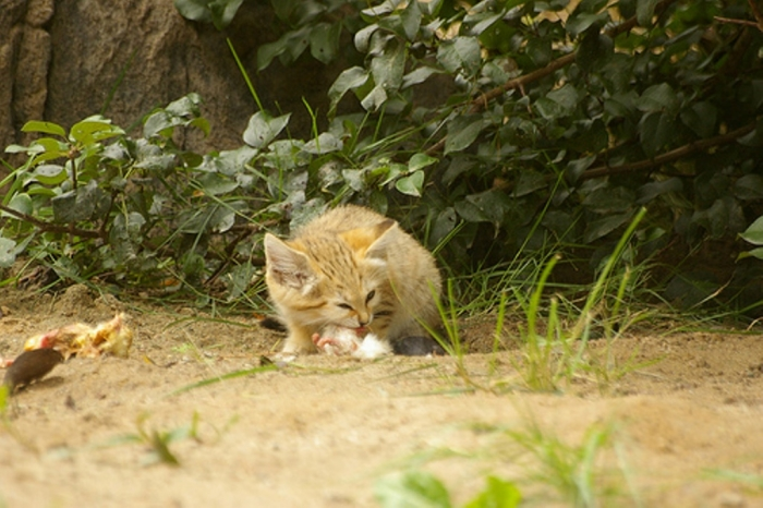 5008058122_47f1859dfd Why Is the Sand Cat the Strongest Cat on Earth?