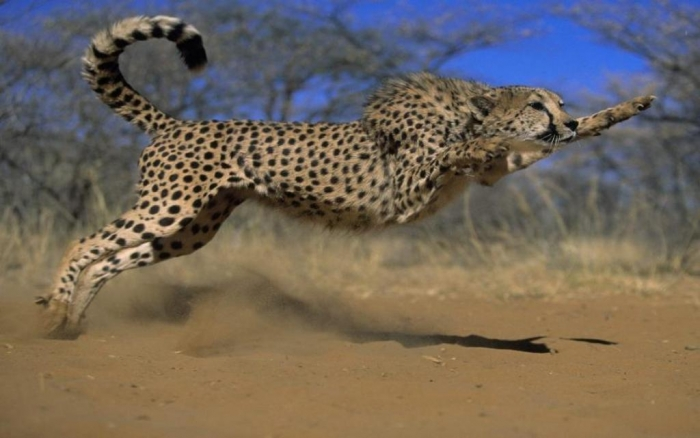 512718_2e38c340d774e1f1afcaf9548cfc7e18_large Is Cheetah Going to Be Extinct & Disappear from Our Life?