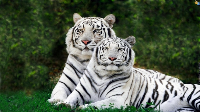 517e33df77aa195348 Why Are These Rare & Weird Tigers White?