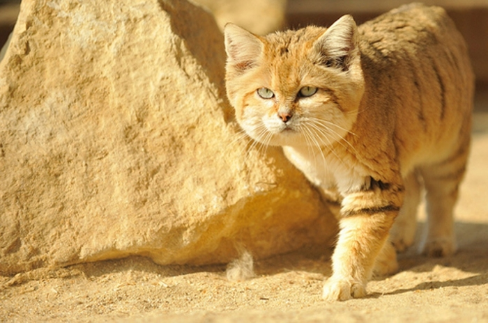 5534432178_fda99997831 Why Is the Sand Cat the Strongest Cat on Earth?