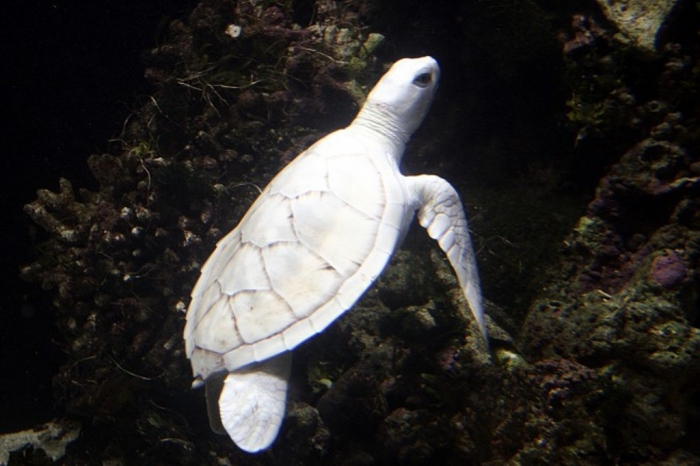 607106_143983_2efbe0bf26_p Do the White Turtles Really Exist on Earth?