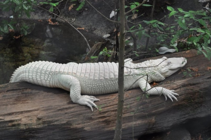 6147158-Luna-_the_albino_alligator-0 Do White Alligators Really Exist on Earth?