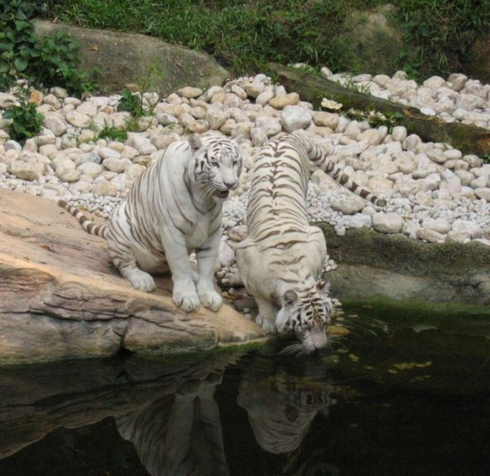 616px-White_tigers_drinking Why Are These Rare & Weird Tigers White?