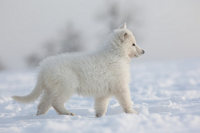 6782843001_d2991f991f Serious Facts You Must Know about the White Snow Wolf