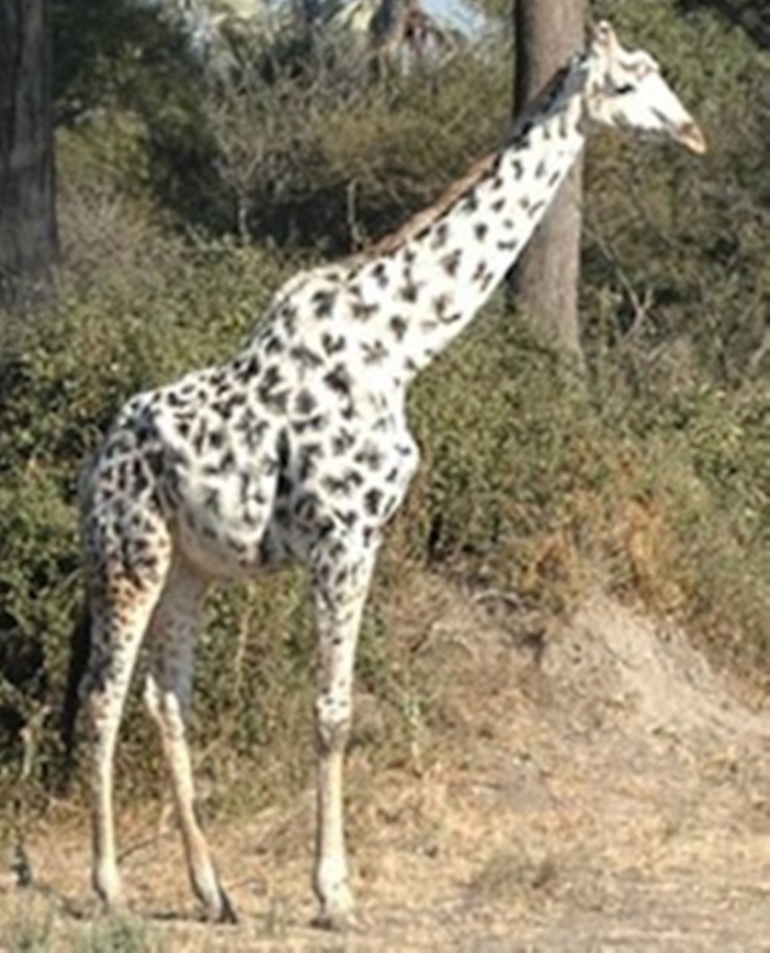 6a00d834515ce669e20120a8be51d4970b-800wi Rare White Giraffes Spotted in Different Areas