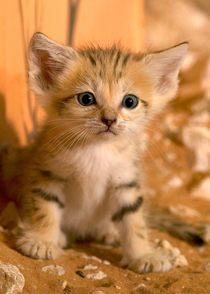 6a010535647bf3970b0133ee507651970b-pi Why Is the Sand Cat the Strongest Cat on Earth?