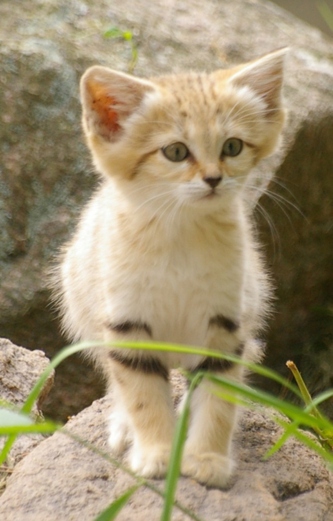 6a010535647bf3970b0133f48033fe970b-pi Why Is the Sand Cat the Strongest Cat on Earth?