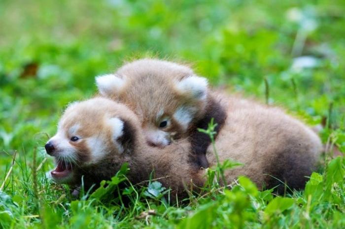 6a010535647bf3970b019affa3efe8970d-800wi5 Is the Red Panda a Cat, Bear or Raccoon?