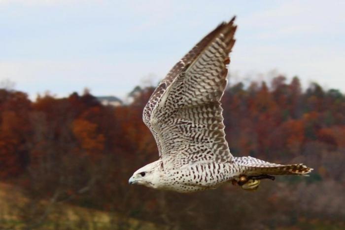 6fda4cd3403c715840145762e1d3a3b145247 Rare White Falcons You Have Never Seen Before
