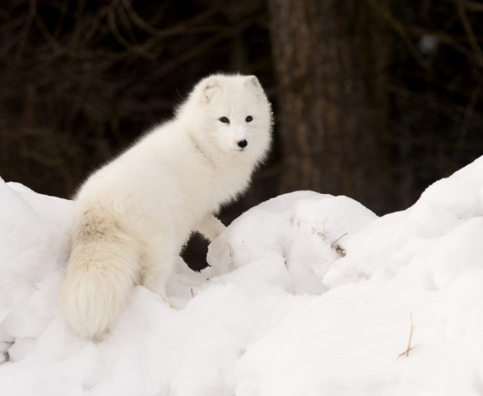 7 Serious Facts You Must Know about the White Snow Wolf