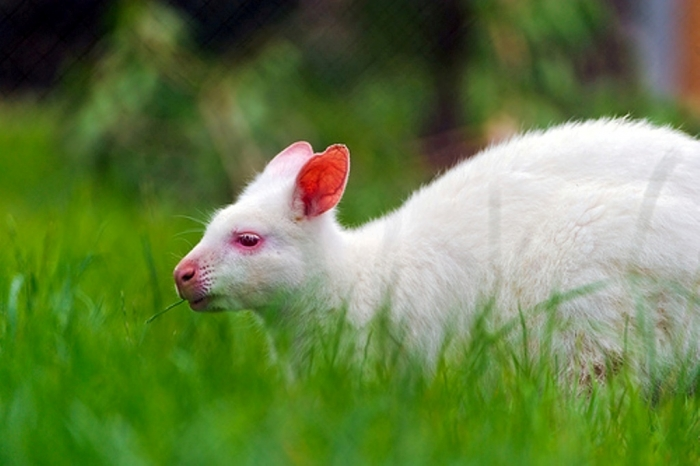 7876243176_b6774a9355 Have You Ever Seen a White Kangaroo Before?