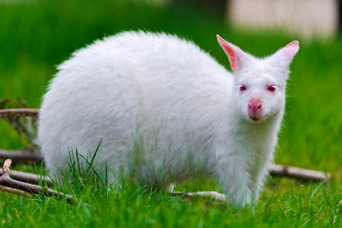 7927504164_aa415bc8ed Have You Ever Seen a White Kangaroo Before?