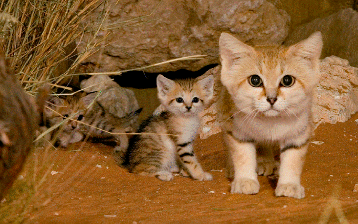 8OKwrmV-1 Why Is the Sand Cat the Strongest Cat on Earth?
