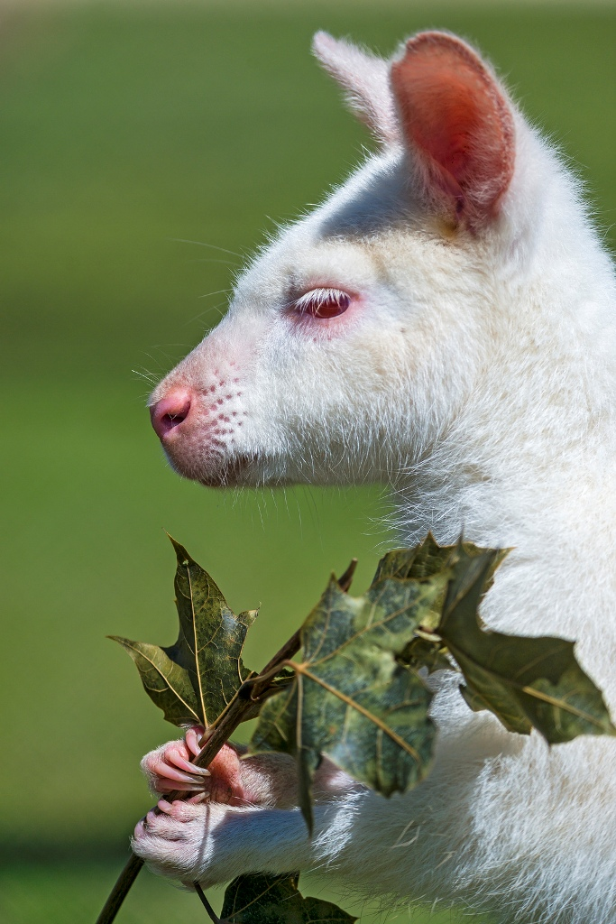 9282992659_88290356a6_h Have You Ever Seen a White Kangaroo Before?