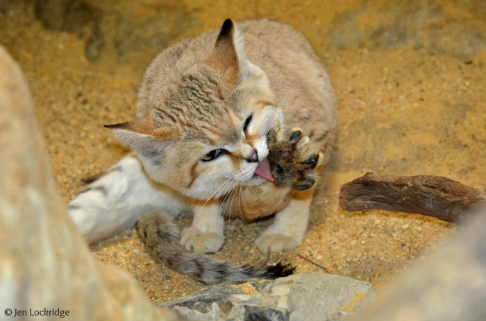 9732620037_97b271c4db_b Why Is the Sand Cat the Strongest Cat on Earth?