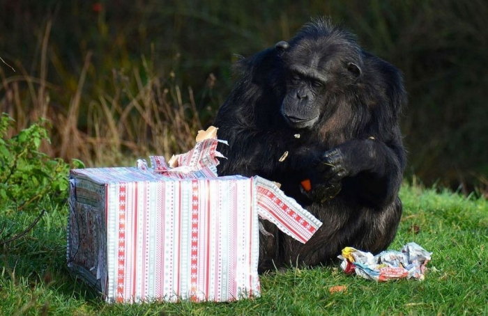 A-Chimpanzee-opens-its-Christmas-presents-at-ZSL-Whipsnade-Zoo-MAIN What Whipsnade Zoo Leaves Its Animals to Do!