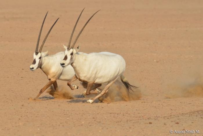 Aaron_06 The Arabian Oryx Returns Back to Life