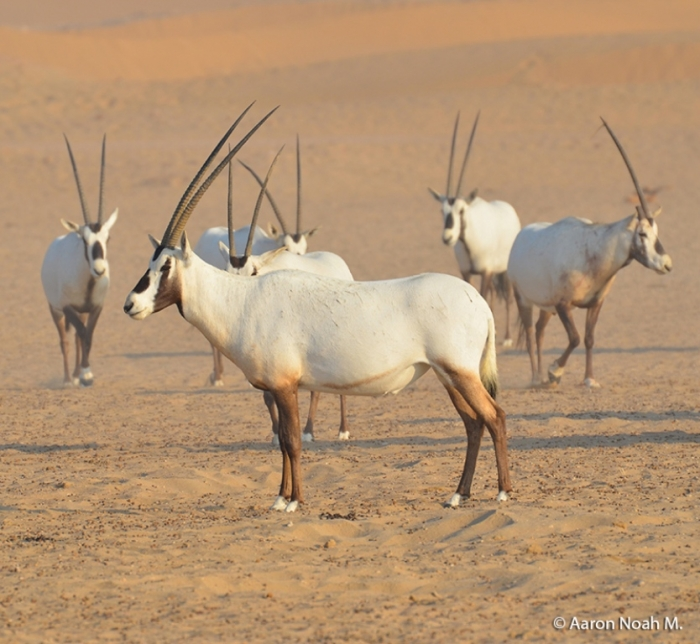 Al_Qudra_Cycle_Path_06 The Arabian Oryx Returns Back to Life