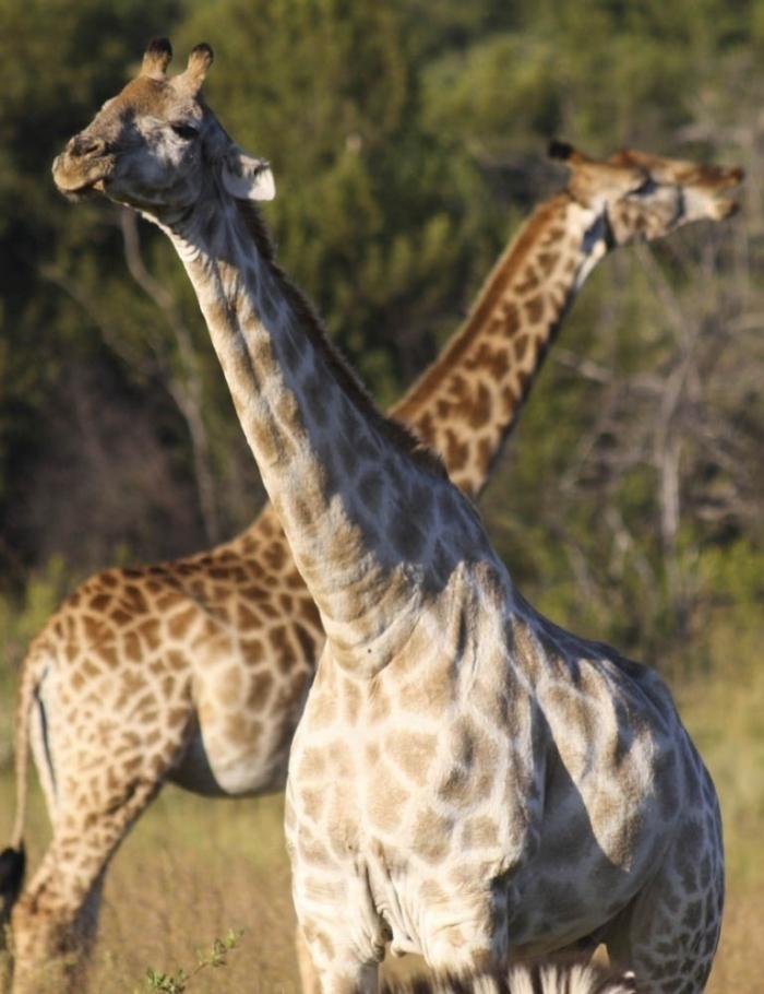 AlbinoGiraffe Rare White Giraffes Spotted in Different Areas