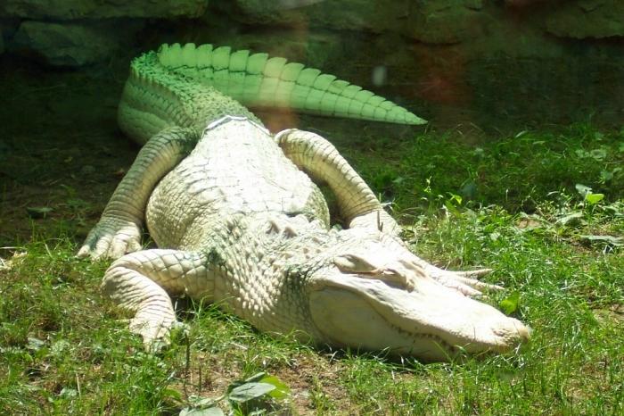 Albino_alligator Do White Alligators Really Exist on Earth?