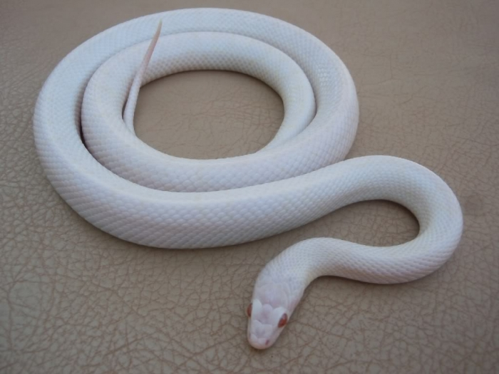 Angel2 Is the White Snake Just a Legend?