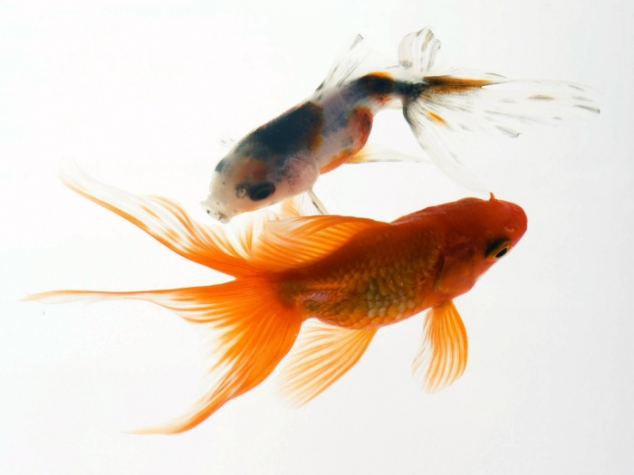 Animals_Under_water_Aquarium_fish_013224_ What Are the Kinds of Fish You Can Put in Your Fish Tank?