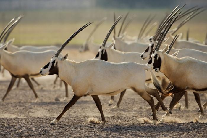 Arabian-Oryx-9 The Arabian Oryx Returns Back to Life