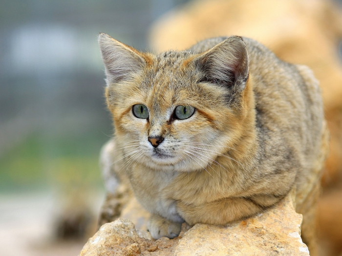 Arabian-Sand-Cat1 Why Is the Sand Cat the Strongest Cat on Earth?