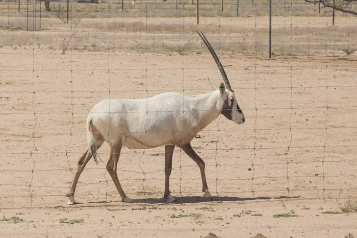 Arabian_Oryx. The Arabian Oryx Returns Back to Life