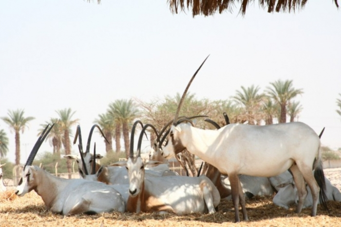 Arabian_orix The Arabian Oryx Returns Back to Life