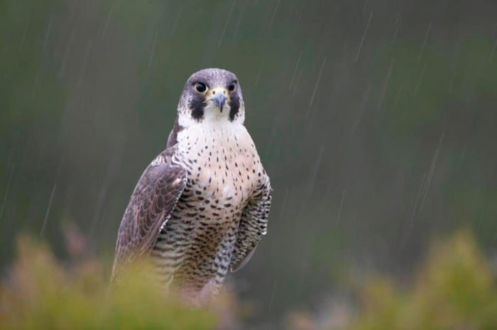 BB-peregrine-185 Rare White Falcons You Have Never Seen Before