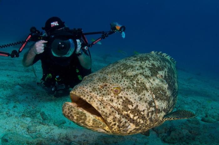 BD-FL-Key-Largo-2010-06-1251C Is The Atlantic Goliath Grouper Endangered?