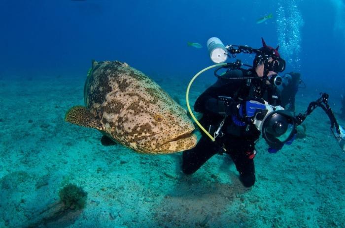 BD-FL-Key-Largo-2010-06-1276C Is The Atlantic Goliath Grouper Endangered?