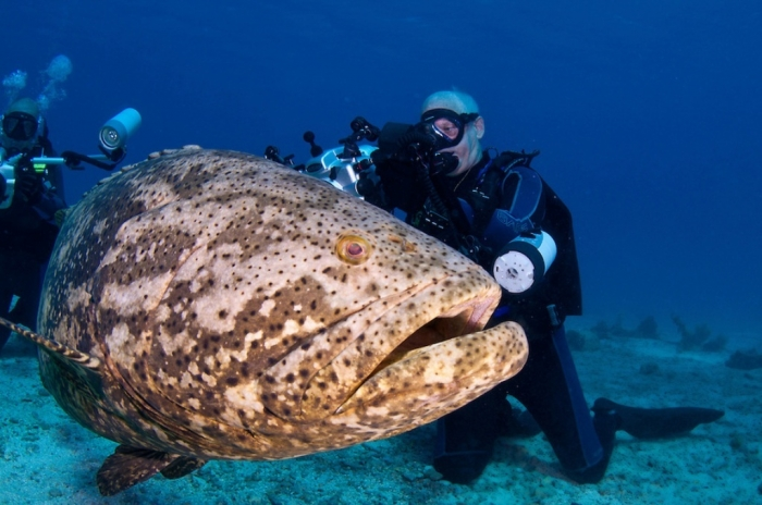 Is the atlantic goliath grouper endangered pouted for Goliath grouper fish