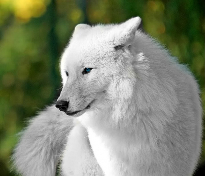 Beautiful-White-Wolves-wolves-32683888-718-616 Serious Facts You Must Know about the White Snow Wolf