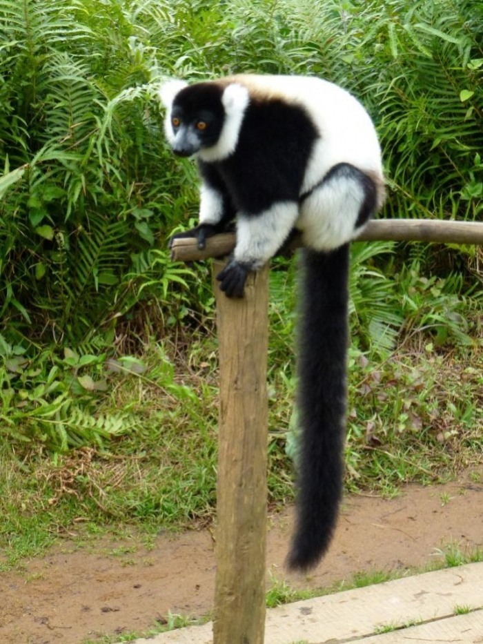 Black-and-White-Lemur Are Lemurs Ghosts, Monkeys Or Just Strange Creatures?