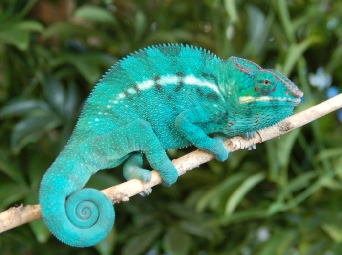 CH-Nosy3 How Can the Chameleon Change Its Color?