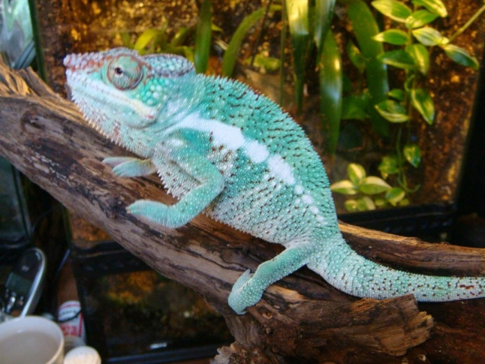 Cham-23 How Can the Chameleon Change Its Color?