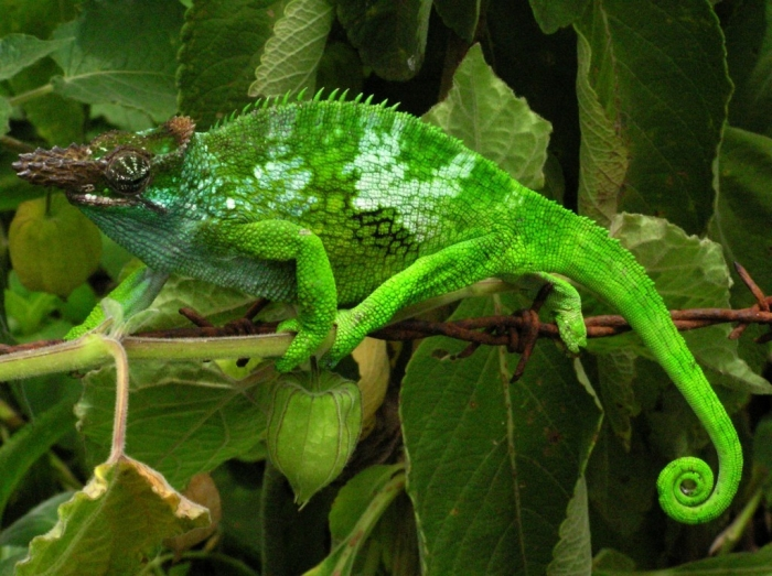 Chameleon_-_Tanzania_-_Usambara_Mountains3 How Can the Chameleon Change Its Color?