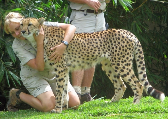 Cheetah-image Is Cheetah Going to Be Extinct & Disappear from Our Life?