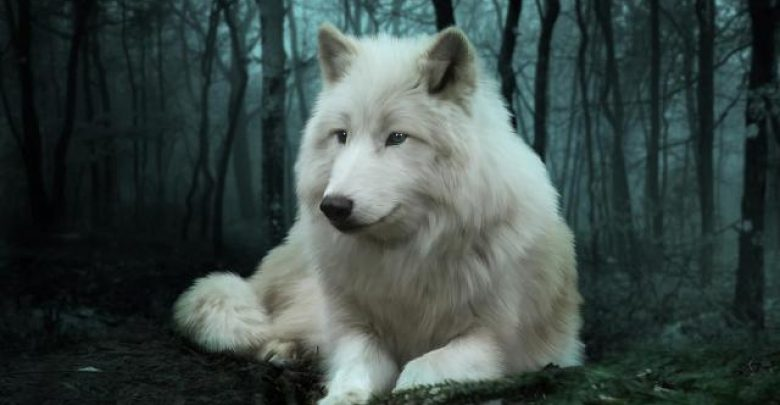 Photo of Serious Facts You Must Know about the White Snow Wolf