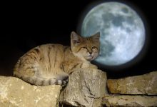 Photo of Why Is the Sand Cat the Strongest Cat on Earth?