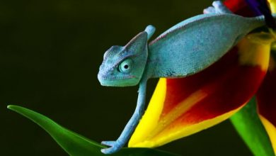 Photo of How Can the Chameleon Change Its Color?