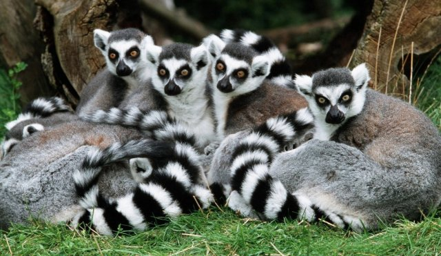 Photo of Are Lemurs Ghosts, Monkeys Or Just Strange Creatures?