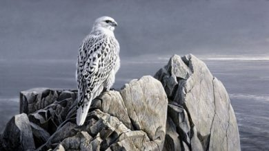 Photo of Rare White Falcons You Have Never Seen Before