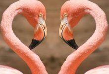"""Photo of Strange Facts about the Most Beautiful Bird on Earth """"Flamingo"""""""