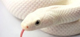 Is the White Snake Just a Legend?