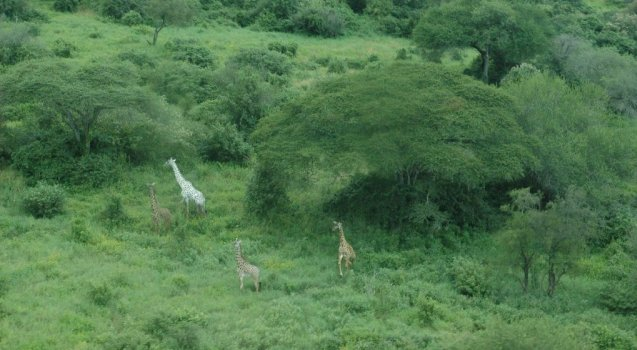 Photo of Rare White Giraffes Spotted in Different Areas