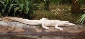 Do White Alligators Really Exist on Earth?